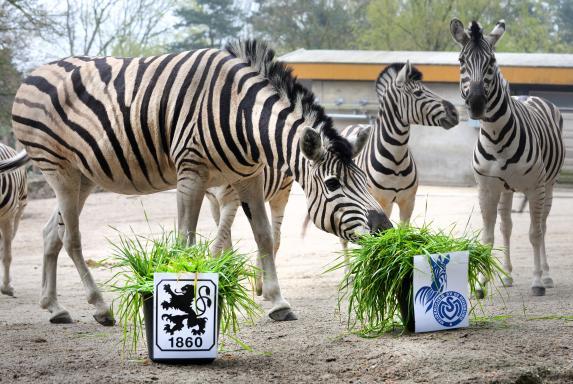 MSV Duisburg, Zebra, Zoo Duisburg